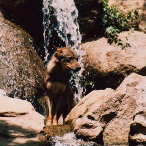 Wolf ... pour ne plus les rencontrer que dans des parcs, aussi bien traités qu'ils puissent être...