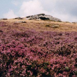 Le signal du Bougès - Le sommet du mont du Bougès en bruyères, fin août dans les Cévennes