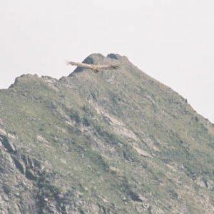 Vautour... Au pic du Midi... (2 872 m)