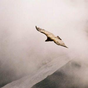 Vautour fauve - Au-dessus du lac d'Oncet...