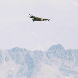 Vautour fauve - Au-dessus de Pène Lounque (2 229 m)