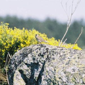 Alouette des champs - À la Cham de l'Hermet, vers le Pont-de-Montvert, Lozère