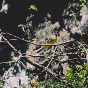 Bergeronnette des ruisseaux - nidification en aval de la Foux, dans les gorges de la Vis