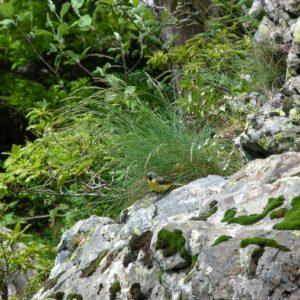 Bergeronnette des ruisseaux - Cascade de l'Hérault