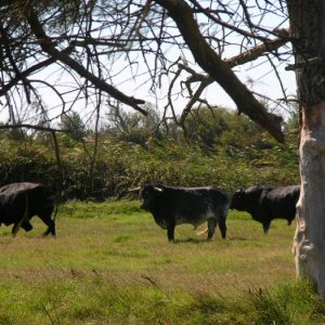 "descendant de ""l'aurochs"" ! ...vers les Marais de Faraman"
