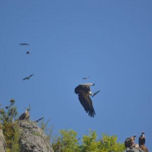 Vautours-Fauves dans les Gorges du Trévezel (30 - Massif de l'Aigoual)