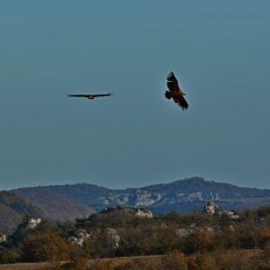 """vautours fauves - vers """"Pié de Barry"""" (859 m.), le Larzac"""