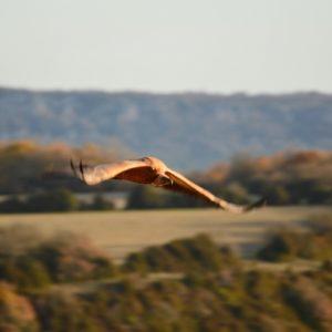 """vautour fauve - vers """"Pié de Barry"""" (859 m.), le Larzac"""