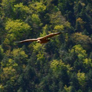 vautour-fauve - Gorges de la Jonte