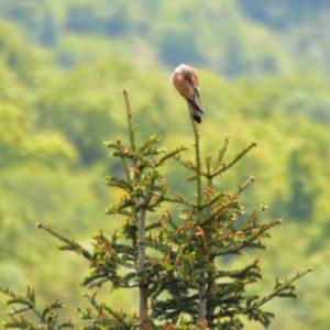 Faucon crécerelle (Montjaux) - lissage des plumes...