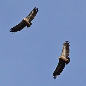 vautours fauves - Causse Noir (vers «Le rocher du champignon préhistorique»)