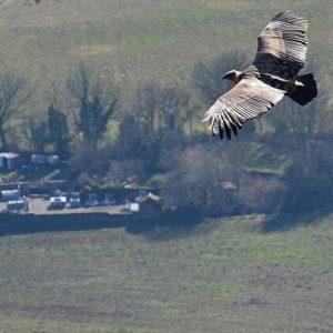 vautour fauve planant au dessus du cimetière de St Beaulize (Aveyron)