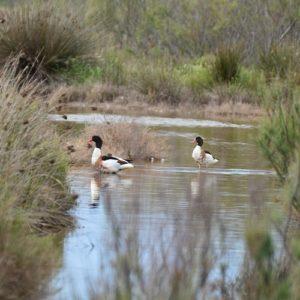 Tadornes, les étangs de Vendres Plage