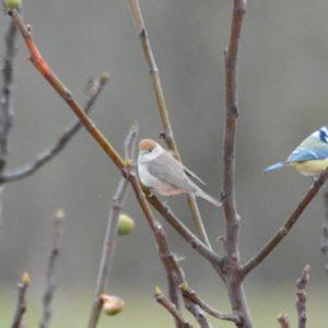 Fauvette à tête noire (femelle) et mésange bleue en automne (Montjaux - 12)