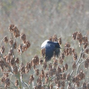 "Grand Corbeau ou ""Corvus corax"" (Montjaux - 12)"