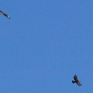 aigles bottés (Roc de Salidou, massif de l'Aigoual)