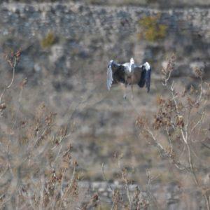 Héron cendré rentre au nid ... - Gorges du Tarn