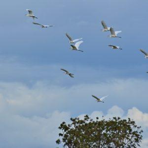 vol d'aigrettes - étangs de Vendres (Hérault)