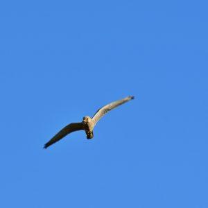 faucon crécerelle - étangs de Vendres (Hérault)
