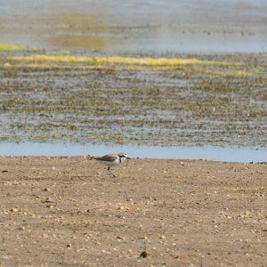 Le nom pluvier vient du latin populaire pluviarius, « oiseau de pluie »