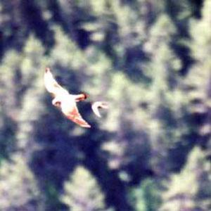 Faucons crécerelles - Gorges de la Jonte, entre causse Noir et causse Méjan