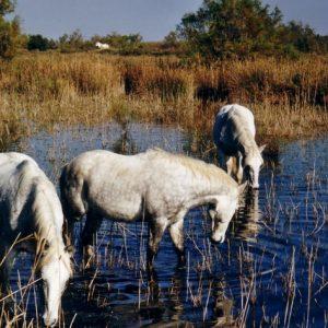 Camarguais... À l'étang de Redon