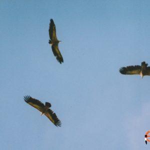 Au-dessus de la Jonte, vautours fauves